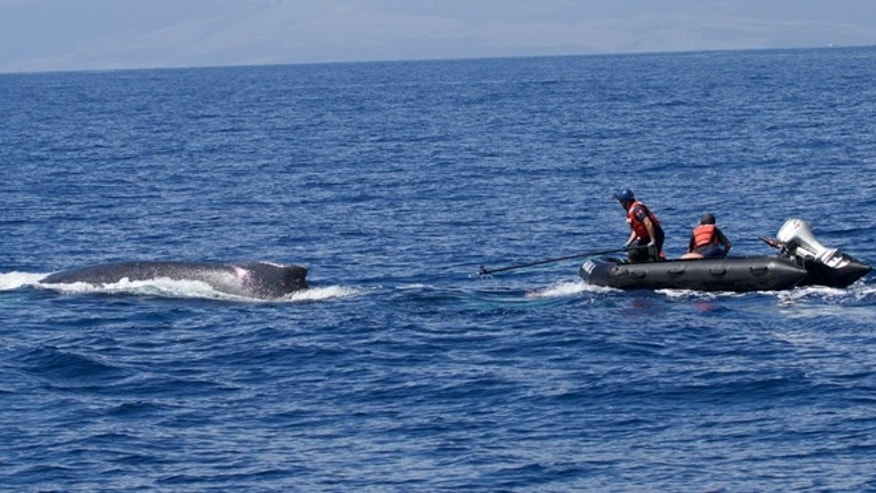 This image provided by NOAA's Marine Mammal Health and Stranding Response Program the response team in an inflatable with flying line cutter approach the whale off Kona, Hawaii. (AP/NOAA)