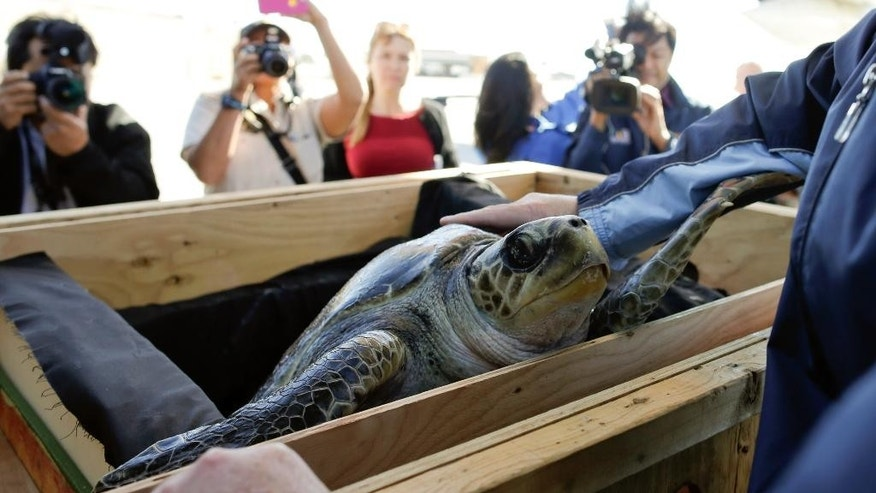 Solstice, a rescued endangered olive ridley sea turtle, looks out from a crate as she arrives to Tuesday, Feb. 24, 2015, in Coronado, Calif. Solstice, who was rescued from frigid Northwest waters and treated at the Oregon Coast Aquarium in Newport, Ore., caught a ride back to California Tuesday on a Coast Guard training flight. The turtle was dehydrated with a body temperature 15 degrees below normal when she was found Dec. 21 on the Long Beach Peninsula in southwest Washington. She willl undergo rehabilitation at Sea World in San Diego. (AP Photo/Gregory Bull)