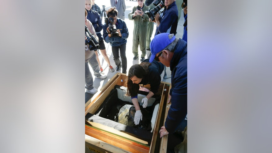 Evonne Mochon Collura, an aquarist at Oregon Coast Aquarium, rubs an ointment on the shell of Solstice, a rescued endangered olive ridley sea turtle, as she arrives Tuesday, Feb. 24, 2015, in Coronado, Calif. The turtle, who was rescued from frigid Northwest waters and treated at the Oregon Coast Aquarium in Newport, Ore., caught a ride back to California Tuesday on a Coast Guard training flight. The turtle was dehydrated with a body temperature 15 degrees below normal when she was found Dec. 21 on the Long Beach Peninsula in southwest Washington. She will undergo rehabilitation at Sea World in San Diego. (AP Photo/Gregory Bull)