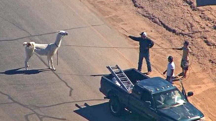 In this image taken from video and provided by abc15.com, men lasso one of two quick-footed llamas after they dashed in and out of traffic before they were captured, Thursday, Feb. 26, 2015, in Sun City, Ariz., a Phoenix-area retirement community. The llamas thwarted numerous attempts by sheriff's deputies and bystanders to round them up before they were roped into custody. (AP Photo/abc15.com) MANDATORY CREDIT.