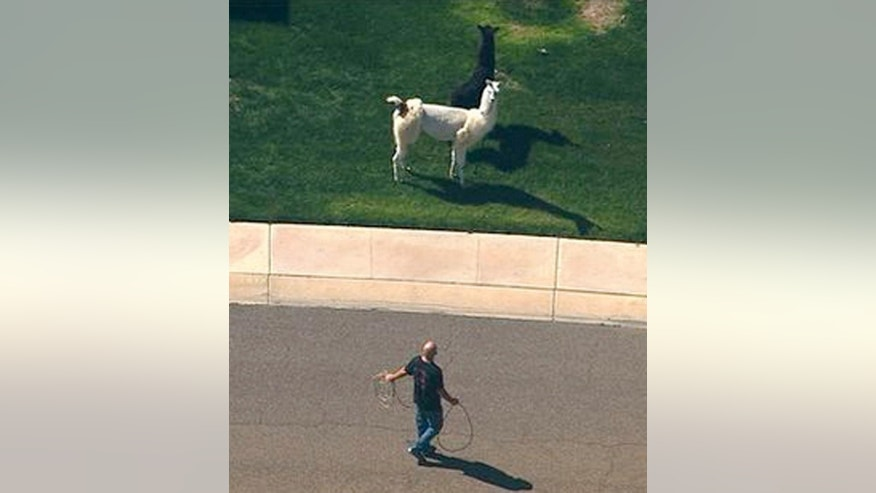 In this image taken from video and provided by abc15.com, a man approaches two quick-footed llamas with a lasso as they dash in and out of traffic before they were captured, Thursday, Feb. 26, 2015, in Sun City, Ariz., a Phoenix-area retirement community. The llamas thwarted numerous attempts by sheriff's deputies and bystanders to round them up before they were roped into custody. (AP Photo/abc15.com) MANDATORY CREDIT.