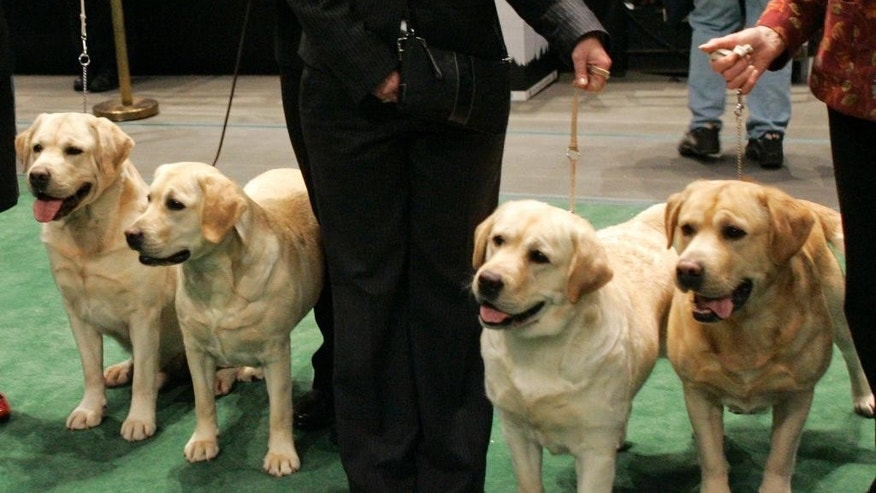 FILE - In this Feb. 13, 2007 file photo, four Labrador retrievers line up for a photograph with their handlers before entering the ring for competition at the Westminster Kennel Club dog show at Madison Square Garden in New York. Labs reigned as the nation's top dog in 2014 for the 24th year after breaking poodles' decades-old record in 2013, according to American Kennel Club rankings set to be released Thursday Feb. 26, 2015. Labrador retrievers hit the top 10 in the 1970s and haven't left since. (AP Photo/Kathy Willens, File)