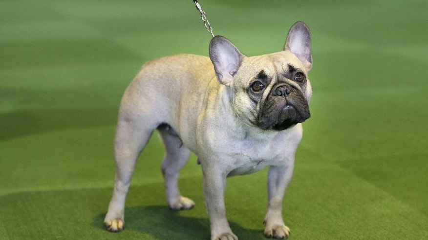 "FILE - In this Feb. 16, 2015 file photo, a French bulldog competes at the Westminster Kennel Club show in New York. The American Kennel Club is releasing its 2014 breed popularity rankings on Thursday Feb. 26, 2015. Labrador retrievers hit the top 10 in the 1970s and haven't left since but German shepherds, golden retrievers and beagles are holding their own in the top five, with Yorkshire terriers, poodles, boxers and Rottweilers filling out the top 10. Bulldogs' rise is no surprise to fans who extol their unmistakable, push-faced expressions and generally calm demeanors. The smaller, less jowly French bulldog - sometimes dubbed ""a clown in the cloak of a philosopher"" - has surged from 49th to 9th in a decade. (AP Photo/Seth Wenig, File)"