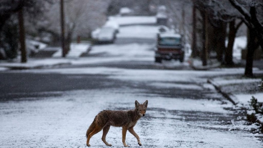 FILE- In this Feb. 24, 2011 file photo, a coyote crosses a snowy street in the Irvington section of Portland, Ore.  A battle has erupted in New York's Westchester County over how to deal with a burgeoning issue of coyote conflicts with people and pets. While some residents want to kill them, others say the animals should be relocated. (AP Photo/The Oregonian, Beth Nakamura, File) MAGS OUT; TV OUT; NO LOCAL INTERNET; THE MERCURY OUT; WILLAMETTE WEEK OUT; PAMPLIN MEDIA GROUP OUT