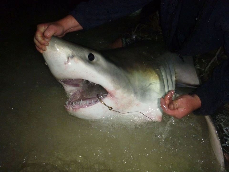'Controlled chaos': Fisherman reels in Great White shark from Florida beach
