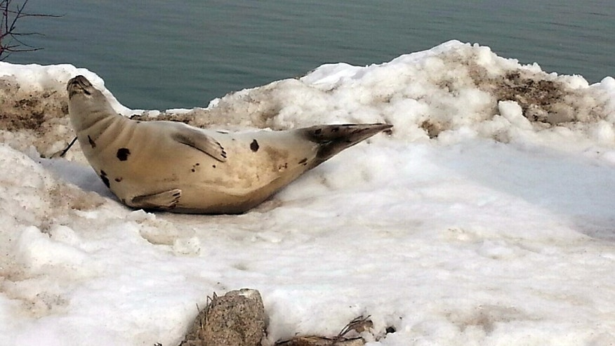 In this photo provided by the Wells, Maine Police Department, a seal is stranded on a snowbank in Wells on Sunday, March 8, 2015. Members of the Wells Police Department and the Marine Mammals of Maine organization rescued the seal and returned it to the waters of Wells Harbor. (AP Photo/Wells Police Department, Officer Kevin Schoff)