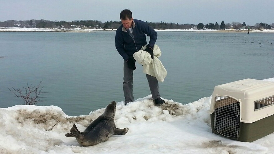 In this photo provided by the Wells, Maine Police Department, an official with Marine Mammals of Maine works to rescue a seal that got stranded on a snowbank in Wells on Sunday, March 8, 2015. Members of the Wells Police Department and the Marine Mammals of Maine organization rescued the seal and returned it to the waters of Wells Harbor. (AP Photo/Wells Police Department, Officer Kevin Schoff)