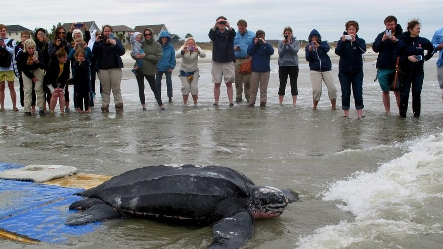 Yawkey, a rare leatherback sea turtle, moves off the beach at the Isle of Palms, S.C., on Thursday, March 12, 2015. The turtle was being returned to the the Atlantic Ocean after it was treated for five days at the South Carolina Aquarium. Yawkey, who was found on Saturday, March 7, 2015 in Georgetown County, S.C,  is the first leatherback turtle known to have stranded alive in the state. (AP Photo/Bruce Smith)