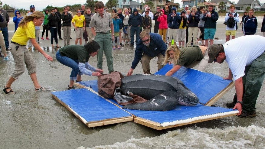 Staff from the South Carolina Aquarium and the South Carolina Department of Natural Resources lower the sides on a box containing Yawkey, a rare leatherback sea turtle, on the Isle of Palms, S.C., on Thursday, March 12, 2015. They were returning the turtle to the Atlantic Ocean after it was treated for five days at the aquarium. Yawkey, who was found on Saturday, March 7, 2015 in Georgetown County, S.C,  is the first leatherback turtle known to have stranded alive in the state. (AP Photo/Bruce Smith)