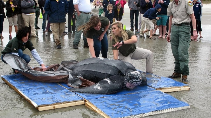 Staff from the South Carolina Aquarium and the South Carolina  Department of Natural Resources help release Yawkey, a rare leatherback sea turtle, on the Isle of Palms, S.C., on Thursday, March 12, 2015. They were returning the turtle to the Atlantic Ocean after it was treated for five days at the aquarium. Yawkey, who was found on Saturday, March 7, 2015 in Georgetown County, S.C,  is the first leatherback turtle known to have stranded alive in the state. (AP Photo/Bruce Smith)