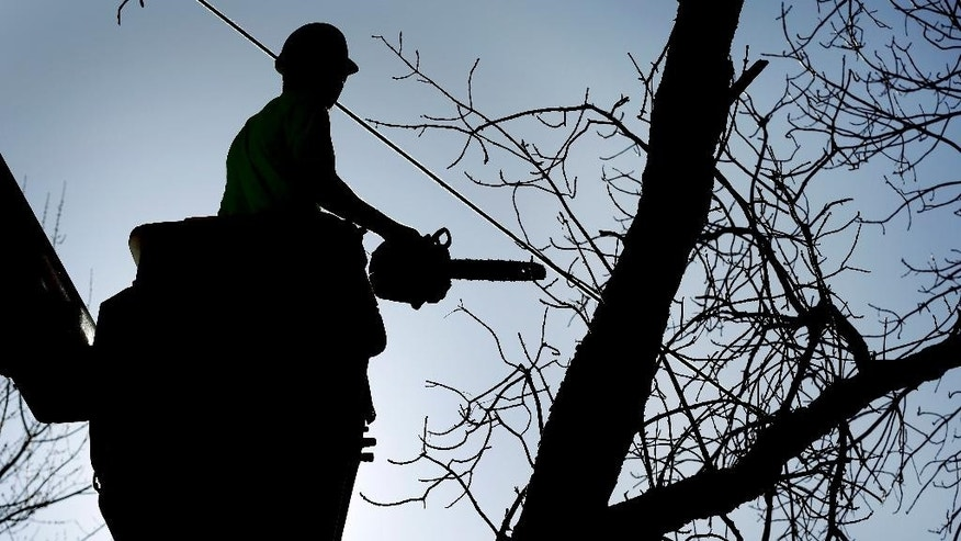 Bo Boddicker, of Family Tree Care, cuts down an ash tree, Monday, March 9, 2015, in Des Moines, Iowa. Daunted by the cost and difficulty of stopping the emerald ash borer, many cities are choosing to destroy their trees before the insect can. Chain saws are roaring in towns where up to 40 percent of the trees are ashes, and rows of stumps line streets once covered by a canopy of leaves. (AP Photo/Charlie Neibergall)