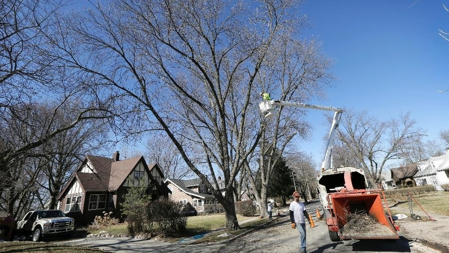 A crew from Family Tree Care cut down an ash tree, Monday, March 9, 2015, in Des Moines, Iowa. Daunted by the cost and difficulty of stopping the emerald ash borer, many cities are choosing to destroy their trees before the insect can. Chain saws are roaring in towns where up to 40 percent of the trees are ashes, and rows of stumps line streets once covered by a canopy of leaves. (AP Photo/Charlie Neibergall)