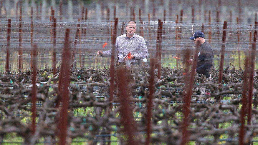 March 16, 2015: A member of Napa law enforcement places markers in a vineyard at a winery, while investigating a crime scene, south of Yountville, Calif.
