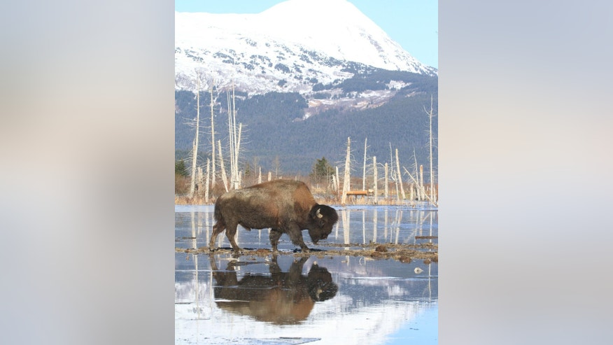 A bull wood bison weighing upward of 2,000 pounds moves toward higher ground at the Alaska Wildlife Conservation Center on Sunday, March 22, 2015, in Portage, Alaska. The Alaska Department of Fish and Game on Sunday began moving wood bison to a staging area in Shageluk, Alaska, for reintroduction in a few week to their native Alaska grazing grounds. Wood bison, which are larger than plains bison native found in Lower 48 states, disappeared from U.S. soil more than a century ago. (AP Photo/Dan Joling)