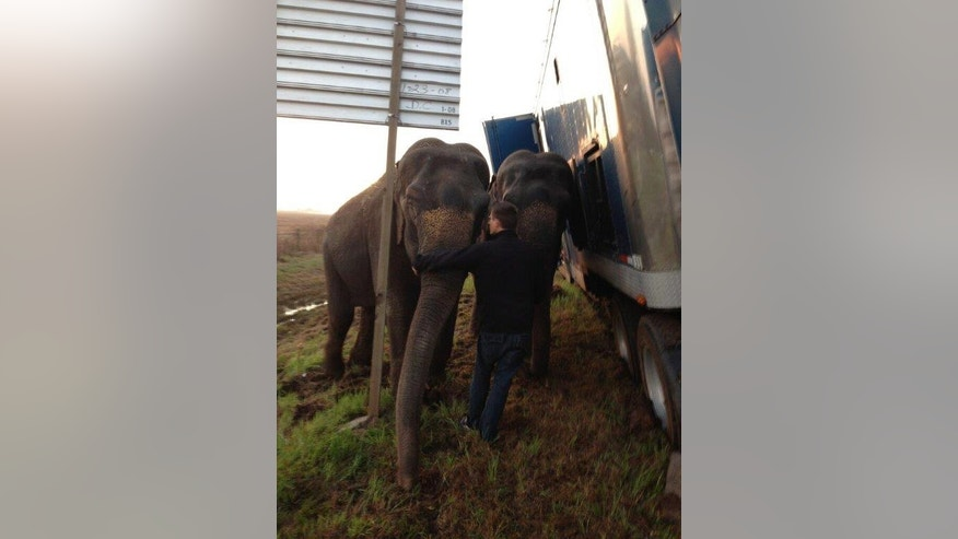 In this photo provided by the Natchitoches Parish Sheriff's Office, elephants hold up tractor-trailer stuck on the muddy shoulder of a highway near Powhatan, La., Tuesday, March 24, 2015. The Natchitoches Parish Sheriff's Office says the truck was carrying three elephants from New Orleans to Dallas but got stuck Tuesday when it pulled over onto the soft shoulder of Interstate 49 about halfway through its trip. (AP Photo/Natchitoches Parish Sheriff's Office)