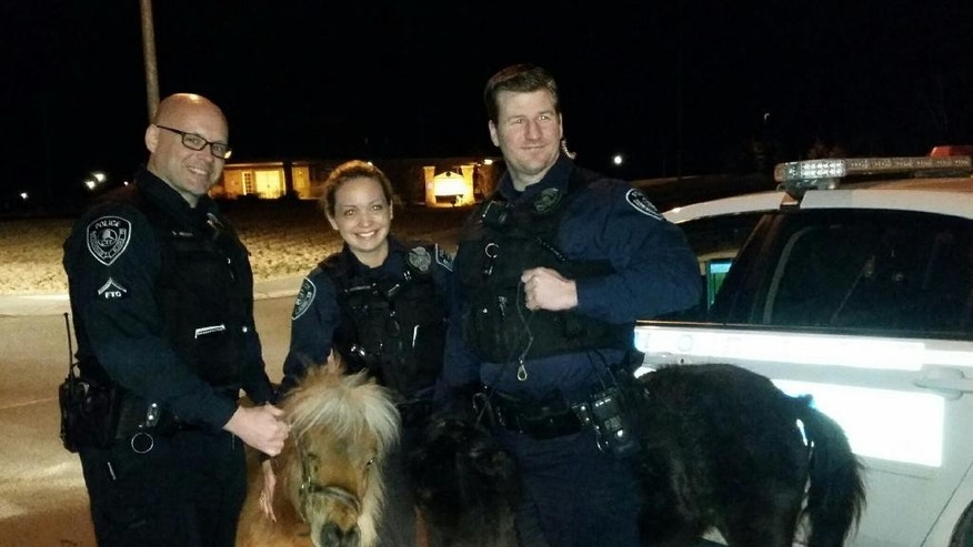 This photo provided by the Anchorage Police Department shows officers Barry Hetlet, from left, Amanda Covington and Jason Deville, right, with two miniature horses they rounded up in Anchorage, Alaska, Friday, March 27, 2015. The horses had gotten loose from their corral and were grazing on the median of a busy East Anchorage street when officers captured them. (AP Photo/Anchorage Police Department)