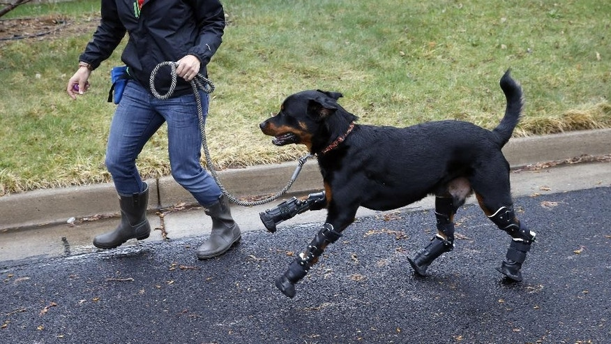 In this April 2, 2015 photo, dog owner Laura Aquilina strolls with her two year old Rottweiler Brutus, who was recently fitted with prosthetics on all four paws, and is currently learning to use them, near Aquilina's home in Loveland, Colo. Brutus lost all four paws to frostbite as a puppy while under care of a breeder, and Aquilina began caring for him about a year ago. (AP Photo/Brennan Linsley)