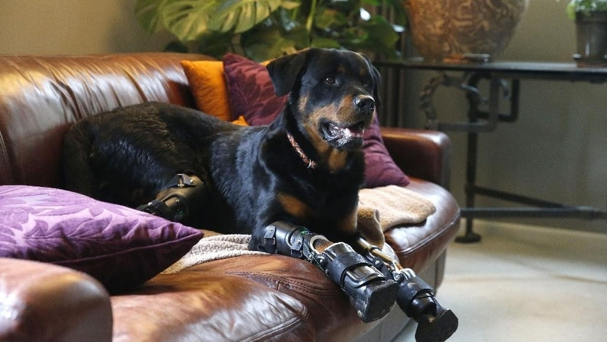 In this April 2, 2015 photo, two year old Rottweiler Brutus, who was recently fitted with prosthetics on all four paws, and is currently learning to use them, sits on the couch at his owner's home in Loveland, Colo. Brutus lost all four paws to frostbite as a puppy while under care of a breeder, and Aquilina began caring for him about a year ago. (AP Photo/Brennan Linsley)