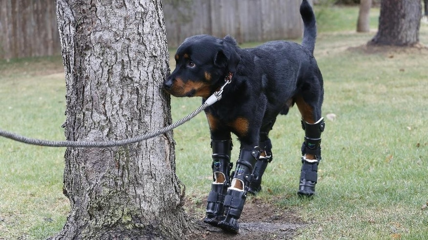 In this April 2, 2015 photo, two year old Rottweiler Brutus, who was recently fitted with prosthetics on all four paws, and is currently learning to use them, smells a tree while out for a walk near his owner's home in Loveland, Colo. Brutus lost all four paws to frostbite as a puppy while under care of a breeder, and Aquilina began caring for him about a year ago. (AP Photo/Brennan Linsley)