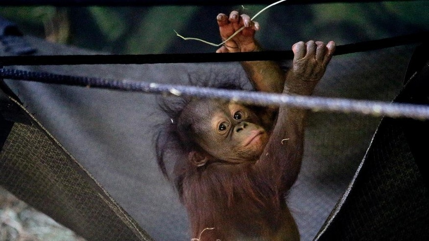 Tuah, the five month-old Bornean orangutan looks on in the Great Ape Building at Utah's Hogle Zoo Friday, April 10, 2015, in Salt Lake City. Tuah's parents, Eve and Elijah, both passed away last fall; Eve just a few weeks after Tuah's birth. After four months of round-the-clock care from zookeepers and his older sister, an orphaned orangutan baby whose father gained national fame by correctly picking the Super Bowl winner seven straight years is ready to meet the public. (AP Photo/Rick Bowmer)