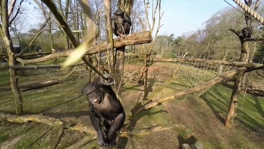 In this image taken from video on Friday April 10, 2015  provided by Royal Burgers' Zoo in Arnhem The Netherlands on Tuesday April 14, 2015, Tushi the  chimpanzee, foreground,  hits a drone with a stick. When the zoo sent out a drone over the Chimpanzee enclosure for a better look at how their 14 apes live, they quickly learned why they are that smart. With the unfamiliar entruder coming close to their trees, 23-year-old female Tushi waited in a tree, gritted her teeth and with two whacks from a long branch, downed the drone. (Royal Burgers' Zoo via AP) NO ARCHIVE 14 DAYS USE ONLY