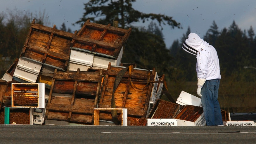 April 17, 2015: A beekeeper inspects the spilled remains of beehives that spilled off of a semitruck along northbound Interstate 5.