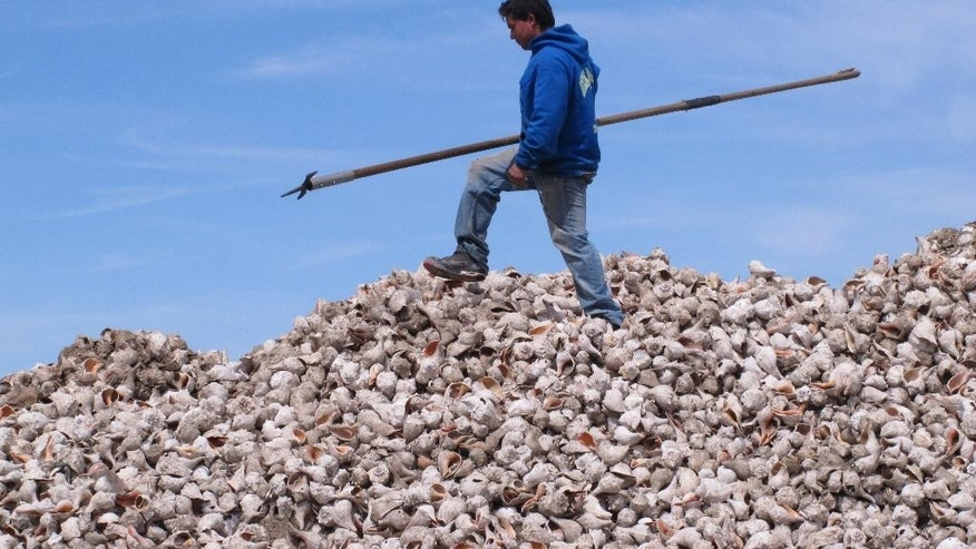 In this April 16, 2015 photo, a worker walks atop a pile of whelk shells shortly before they were dumped into Barnegat Bay in Berkeley Township, N.J. as part of a project by the American Littoral Society environmental group to re-establish an oyster colony in the bay. After oysters attach themselves to the whelk shells, the colonies could help blunt the force of waves from future storms like Superstorm Sandy. (AP Photo/Wayne Parry)