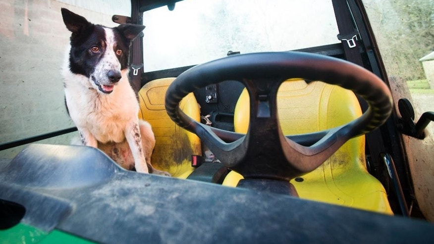 Don the dog at Kirkton Farm in Abington,  Scotland who caused tailbacks on a busy motorway this morning Wednesday April 22, 2015.  The border collie inspired a traffic scare and social media gold after he plunged down a hill and onto a highway in his master's vehicle.  Wednesday's incident near Abington, Scotland, began when farmer Tom Hamilton left Don sitting in his utility vehicle as he inspected lambs. He insists the parking brake was on.  (Danny Lawson/PA via AP) UNITED KINGDOM OUT