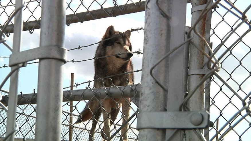 "Chief the wolf stands inside his cage at Tiger Ridge Exotics in Stony Ridge, Ohio, on Saturday, April 4, 2015. Ohio agriculture officials seized 11 exotic animals from Tiger Ridge in January, but they did not take Chief. The state says Tiger Ridge owner Kenny Hetrick ignored warnings that he needed a permit to possess what it calls ""dangerous, wild animals"" and that his cages weren't secure. Hetrick is challenging the decision to take his animals. (AP Photo/Mike Householder) (AP Photo/Mike Householder)"