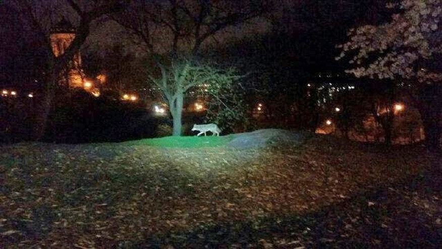 In this photo taken the morning of April 22, 2015, and released by the 24th Precinct of the New York City Police Dept., on Thursday April 23, 2015, a coyote walks in New York City's Riverside Park, on the Upper West Side of Manhattan. While the animals have been spotted periodically in New York since the 1990s and have taken up residence in some Bronx parks, a string of sightings and captures in Manhattan and other unexpected locales in recent months has drawn new attention to them. And experts expect to see more of the adaptable animals in the nation's biggest city. (New York City Police Dept. via AP)