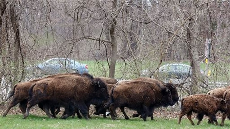 April 24: A herd of buffalo runs in a yard adjacent to the New York State Thruway in Bethlehem, N.Y. About 15 of the animals got loose Thursday from a farm in the Rensselaer County town of Schodack, on the river's east bank a few miles southeast of Albany.