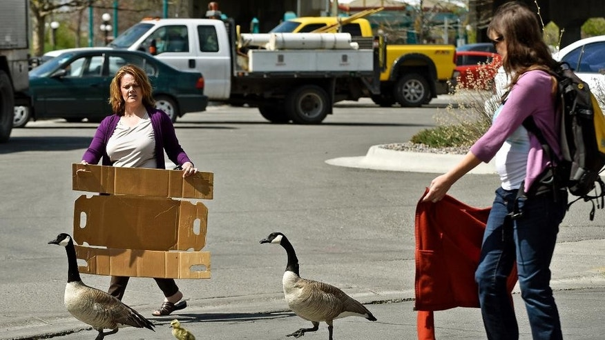 Noreen Humes, left, and Danielle Lattuga herd two geese and a gosling toward the Clark Fork River after the birds wandered into the downtown area on Thursday, April 24, 2015 in Missoula, Mont. It was no gaggle of geese, but two birds and a baby waddling through a downtown Montana city stopped traffic and brought out the shutterbugs.  (Tom Bauer/The Missoulian via AP)