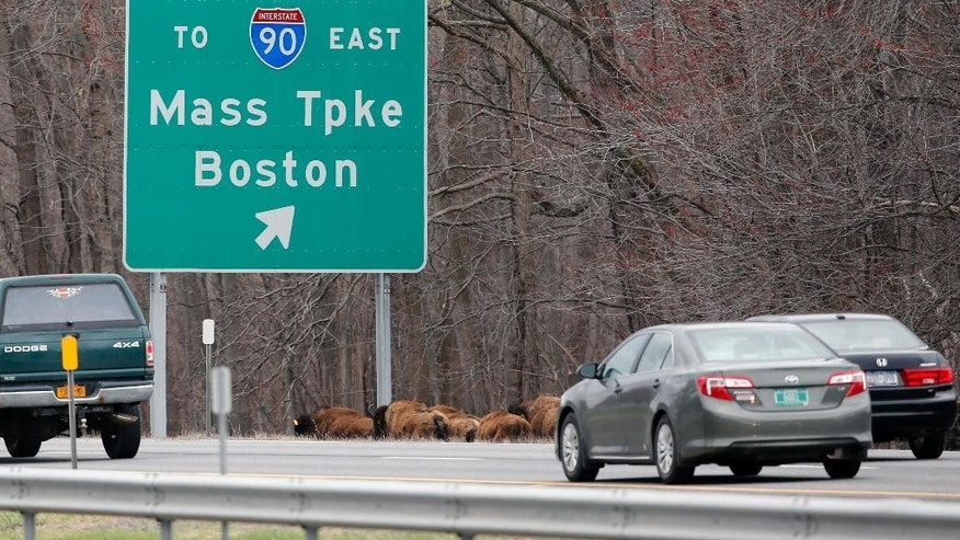 A herd of buffalo run along Interstate 87, Friday, April 24, 2015, in Bethlehem, N.Y. About 15 of the animals got loose Thursday from a farm in the Rensselaer County town of Schodack, on the river's east bank a few miles southeast of Albany. (AP Photo/Mike Groll)
