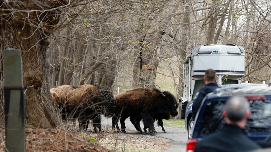 A herd of buffalo crosses a driveway, Friday, April 24, 2015, in Bethlehem, N.Y. About 15 of the animals got loose Thursday from a farm in the Rensselaer County town of Schodack, on the river's east bank a few miles southeast of Albany. (AP Photo/Mike Groll)