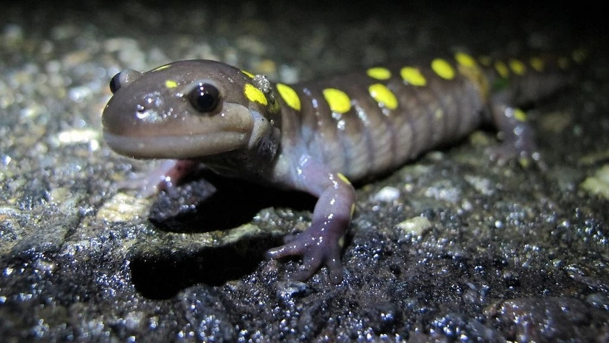 In this April 10, 2015 photo, an eager Spotted Salamander crosses the road to get to its breeding pool, on North Lincoln Street in Keene, N.H. Frogs, salamanders and toads have a shorter window for their annual migration to the temporary vernal pools where they breed thanks to this year's late spring and the trend toward hotter and dryer summers.  (Brett Amy Thelen/Harris Center for Conservation Education via AP)