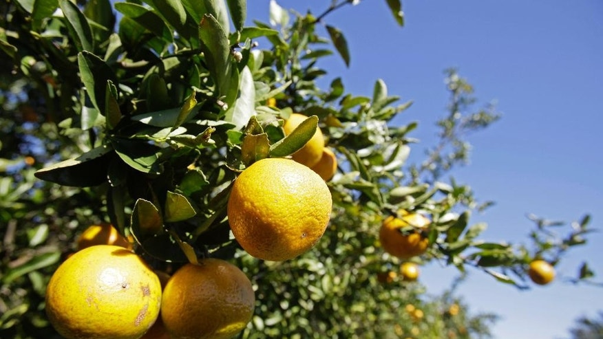 FILE - In this Jan. 4, 2010, file photo, oranges ripen on a tree in a grove in Clermont, Fla. Original Florida would have to give up its state symbol, the orange, if South Florida seceded since the state would be left without most of its citrus groves. More than 90 percent of Florida's citrus groves would go with South Florida. (AP Photo/John Raoux, File)