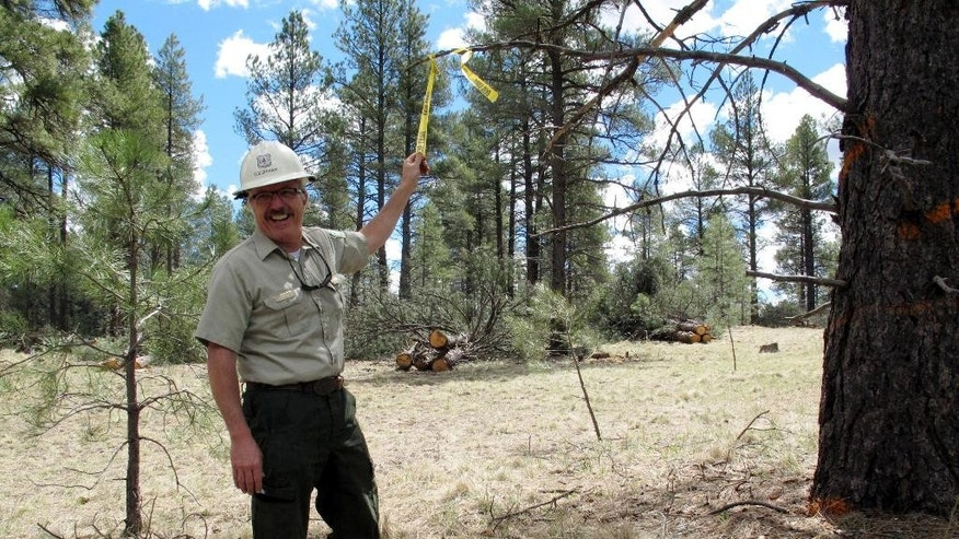 In this April 28, 2015 photo, Dick Fleishman, assistant team leader for the Four Forest Restoration Initiative, shows an area marked for logging trucks in the Coconino National Forest just outside Flagstaff, Ariz. The complex wildfire-prevention effort encompassing four national forests — the Coconino, Kaibab, Apache-Sitgreaves and Tonto, all in northern Arizona — is known as the Four Forest Restoration Initiative. It aims to restore the forests to conditions ideal for wildlife, streams and cultural resources while creating a buffer for communities where large wildfires might devastate the landscape. (AP Photo/Felicia Fonseca)