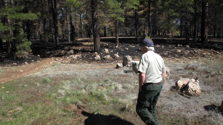 In this April 28, 2015 photo, Dick Fleishman, assistant team leader for the Four Forest Restoration Initiative, walks in the Coconino National Forest just outside Flagstaff, Ariz. The complex wildfire-prevention effort encompassing four national forests — the Coconino, Kaibab, Apache-Sitgreaves and Tonto, all in northern Arizona — is known as the Four Forest Restoration Initiative. (AP Photo/Felicia Fonseca)
