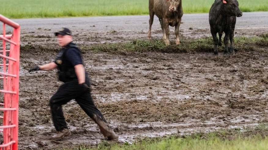 A Sedgwick County Animal Control worker scrambles to corral cattle along Kansas 96 near Maize, Kan., Wednesday morning, May 6, 2015, after a truck carrying cattle lost control in the rain and overturned earlier in the morning.  (Mike Hutmacher/The Wichita Eagle via AP) LOCAL TELEVISION OUT; MAGS OUT; LOCAL RADIO OUT; LOCAL INTERNET OUT