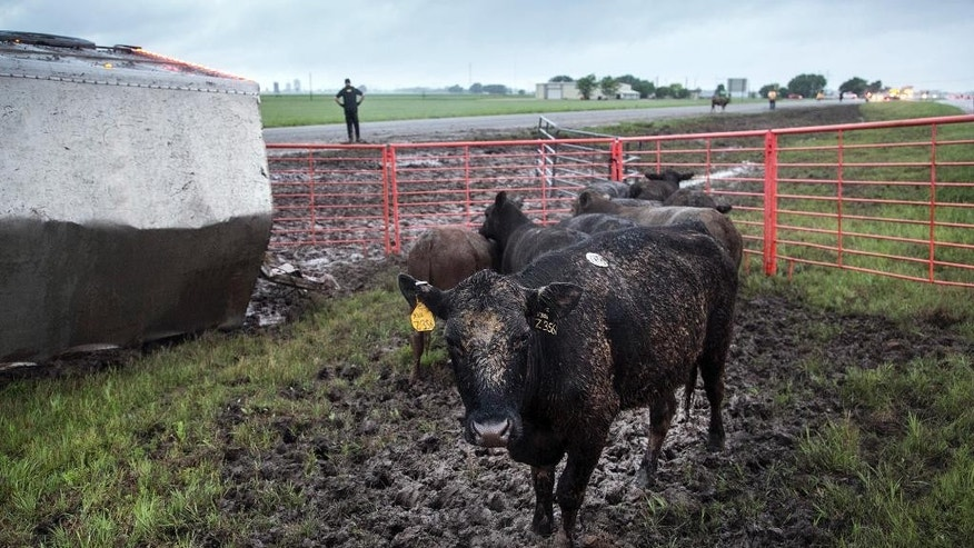 Sedgwick County Animal Control workers corral cattle along Kansas 96 near Maize, Kan., Wednesday morning, May 6, 2015, after a truck carrying cattle lost control in the rain and overturned earlier in the morning.  (Mike Hutmacher/The Wichita Eagle via AP) LOCAL TELEVISION OUT; MAGS OUT; LOCAL RADIO OUT; LOCAL INTERNET OUT