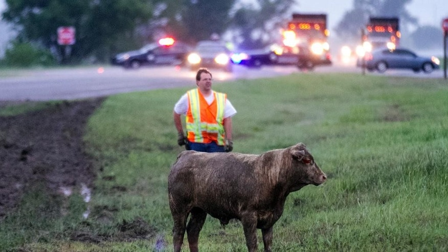 A Kansas Deptarment of Transportation worker moves a steer to a temporary corral on Kansas 96 near Maize, Kan., Wednesday morning, May 6, 2015, after a truck carrying cattle lost control in the rain and overturned earlier in the morning.  (Mike Hutmacher/The Wichita Eagle via AP) LOCAL TELEVISION OUT; MAGS OUT; LOCAL RADIO OUT; LOCAL INTERNET OUT