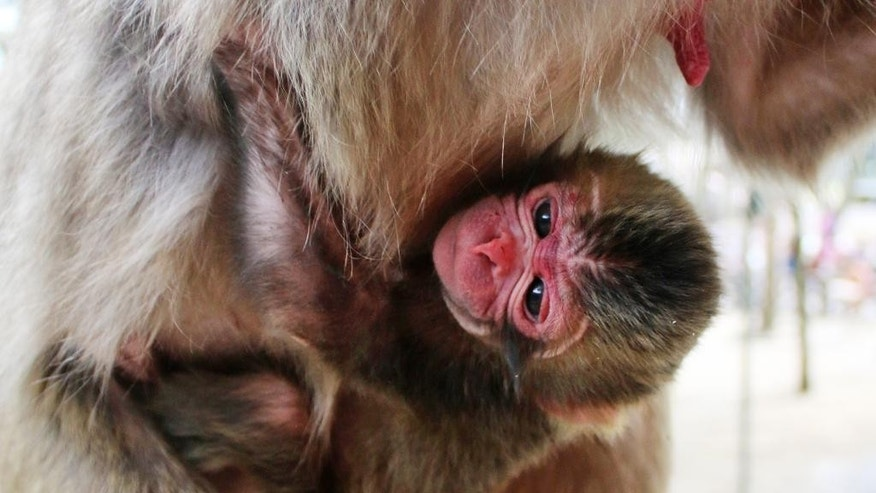 May 6, 2015: A newborn baby monkey named Charlotte clings to her mother at the zoo in Oita, southern Japan. The Japanese zoo has apologized for naming the baby monkey Charlotte after the newborn British princess following complaints at home.