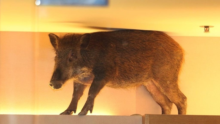 In this photo taken Sunday, May 10, 2015 photo, a wild boar is seen on top of a display rack at a children's clothing store in a mall in Hong Kong. The Hong Kong shopping mall received an unusual visit over the weekend, after the wild boar wandered inside and got trapped inside a children's clothing store. The boar was eventually tranquilized by a vet and taken to an animal rehab center, local newspaper reported. (AP Photo/Apple Daily)  HONG KONG OUT, TAIWAN OUT, NO ARCHIVE, NO SALES