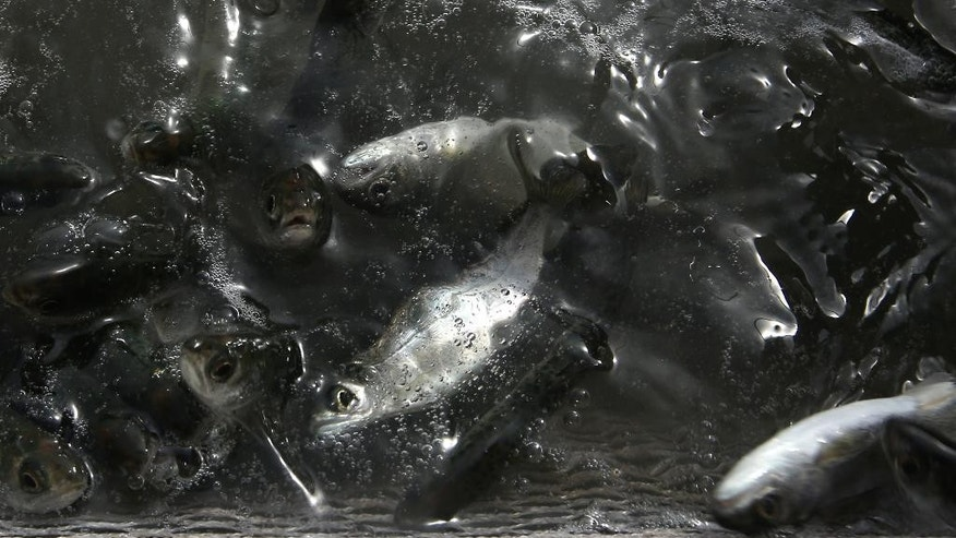 "This Wednesday, May 13, 2015 photo shows young salmon, known as ""smolts,"" in a net suspended on a barge at Mare Island, Calif. The estimated 350,000 fish have been trucked to Mare Island from the Coleman National Fish Hatchery near Anderson, Calif. for release in San Pablo Bay. Due to the worst drought that California has faced in 40 years, state and federal wildlife officials fear that the smolts, normally released upriver near the hatcheries where they were spawned, would not survive low river flows, warm water and predators to survive the journey to the ocean. (AP Photo/Rich Pedroncelli)"