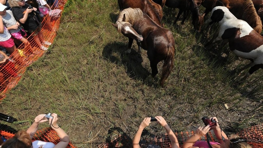 In this Wednesday, July 30, 2014 photo, spectators take photographs of Chincoteague ponies after their 89th annual Chincoteague Pony Swim in Chincoteague, Va. At the center is the stallion known as Surfer Dude. Volunteer Saltwater Cowboys found Surfer Dude's remains on Wednesday, May 13, 2015. He was 23 and one of the most popular Chincoteague Ponies. He likely died of natural causes, a member of the Chincoteague firefighters known as saltwater cowboys said Tuesday.  (Jay Diem/The Daily Times via AP)  NO SALES
