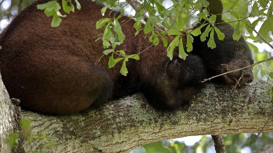 A Louisiana black bear, a protected sub-species of the black bear, perches in a water oak tree in Marksville, La., Sunday, May 17, 2015. The young bear's search for a new home has brought him into a central Louisiana neighborhood where he's spent the past week up one tree or another. (AP Photo/Gerald Herbert)