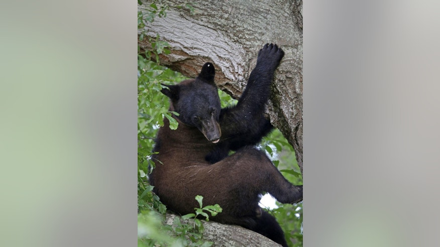 A Louisiana black bear, a protected sub-species of the black bear, perches in a water oak tree in Marksville, La., Sunday, May 17, 2015. The young bear's search for a new home has brought him into a central Louisiana neighborhood where he's spent the past week up one tree or another. The bear is among three to five that have wandered into populated parts of Louisiana in the past 10 days, said wildlife biologist Maria Davidson, head of the large carnivore program for the state Department of Wildlife and Fisheries. (AP Photo/Gerald Herbert)