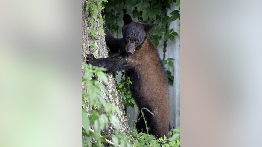 In this May 17, 2015 photo, a Louisiana Black Bear, sub-species of the black bear that is protected under the Endangered Species Act, stands next to a tree in Marksville, La. On Wednesday, May 20, 2015, federal and Louisiana officials said it's time to get the animal that inspired teddy bears off the list of protected species. U.S. Fish and Wildlife Service official Steve Guertin says his agency is making a formal proposal to remove the Louisiana black bear from the list of threatened species. (AP Photo/Gerald Herbert)