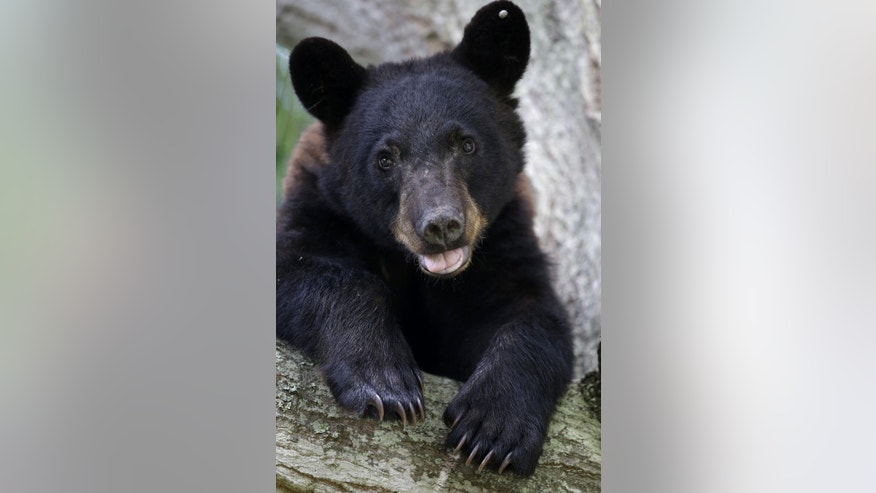 In this May 17, 2015 photo, a Louisiana Black Bear, sub-species of the black bear that is protected under the Endangered Species Act, sits in a water oak tree in Marksville, La. On Wednesday, May 20, 2015, federal and Louisiana officials said it's time to get the animal that inspired teddy bears off the list of protected species. U.S. Fish and Wildlife Service official Steve Guertin says his agency is making a formal proposal to remove the Louisiana black bear from the list of threatened species. (AP Photo/Gerald Herbert)