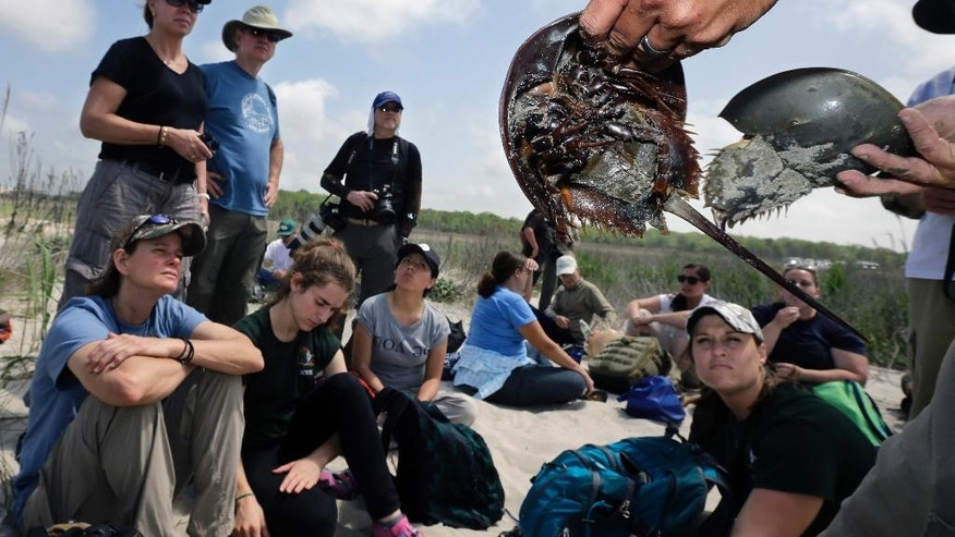 In this Monday, May 11, 2015 photograph, Shane Godshall of the American Littoral Society holds a pair of horseshoe crabs in the Reeds Beach section of Middle Township, N.J. A mainstay for shorebirds, migrating horseshoe crabs affect the numbers of shorebirds returning to the Delaware Bay region. A crash program to restore New Jersey bay and ocean beaches wrecked by Superstorm Sandy appears to have succeeded in saving tens of thousands of shorebirds that otherwise might have died after the 2012 storm wiped out their feeding grounds. (AP Photo/Mel Evans)
